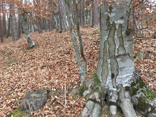 Baumspirit im Schamanismus